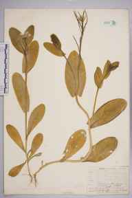 Conringia orientalis herbarium specimen from Kew Gardens, VC17 Surrey in 1906 by William Henry Griffin.