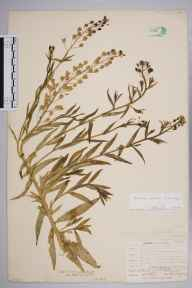 Camelina microcarpa herbarium specimen from Hayes, VC16 West Kent in 1905 by William Henry Griffin.