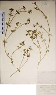 Stellaria media var. major herbarium specimen from Torquay, VC3 South Devon in 1876.