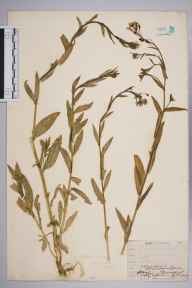 Camelina sativa herbarium specimen from Plumstead, VC16 West Kent in 1907 by William Henry Griffin.
