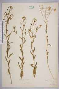 Camelina sativa herbarium specimen from Cardiff, VC41 Glamorganshire in 1935 by Mr Isaac A Helsby.