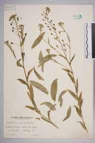 Camelina sativa herbarium specimen from Wallington, VC17 Surrey in 1940 by A L Hill.
