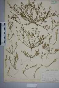 Arenaria serpyllifolia herbarium specimen from West Looe, VC2 East Cornwall in 1900 by Mr Allan Octavian Hume.
