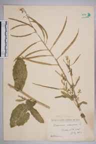 Brassica oleracea herbarium specimen from Barmouth, VC48 Merionethshire in 1923 by William Robert Sherrin.