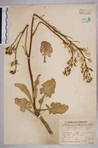 Brassica oleracea herbarium specimen from Worth Matravers, VC9 Dorset in 1934 by Mr Job Edward Lousley.
