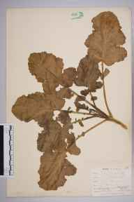Brassica oleracea herbarium specimen from Looe, VC2 East Cornwall in 1900 by Mr Allan Octavian Hume.