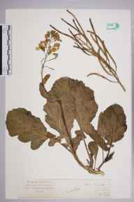 Brassica oleracea herbarium specimen from Dover, VC15 East Kent in 1927 by Mr Isaac A Helsby.
