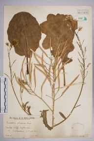 Brassica oleracea herbarium specimen from Folkestone, VC15 East Kent in 1930 by Mr Edward Charles Wallace.