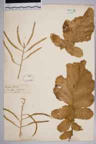 Brassica oleracea herbarium specimen from Dover, VC15 East Kent in 1853 by Mr William Wilson Saunders.
