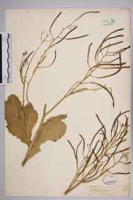 Brassica oleracea herbarium specimen from Lulworth, VC9 Dorset in 1837 by Joseph Woods.