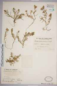 Spergularia marina herbarium specimen from Arisaig, VC97 West Inverness-shire in 1936 by Mr Job Edward Lousley.