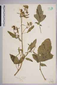 Brassica napus herbarium specimen from Folkestone, VC15 East Kent in 1927 by Mr Isaac A Helsby.