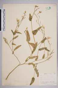 Brassica napus subsp. rapifera herbarium specimen from West Looe, VC2 East Cornwall in 1900 by Mr Allan Octavian Hume.