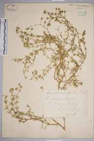 Spergularia rupicola herbarium specimen from Saint Mary's, Scilly Isles, VC1 West Cornwall in 1872 by Mr William Hadden Beeby.