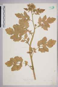 Brassica rapa herbarium specimen from Tring, VC20 Hertfordshire in 1927 by Mr Isaac A Helsby.