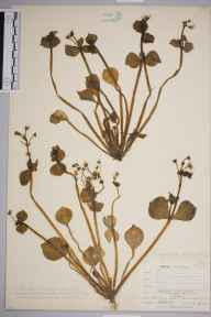 Claytonia sibirica herbarium specimen from Coniston, VC69 Westmorland in 1905 by William Henry Griffin.