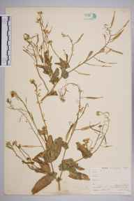 Brassica rapa herbarium specimen from Falmouth, Swan Pool, VC1 West Cornwall in 1899 by Mr Allan Octavian Hume.
