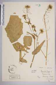 Brassica rapa herbarium specimen from Sonning, VC22 Berkshire in 1945 by Stafford Edwin Chandler.