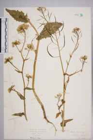 Brassica rapa herbarium specimen from Abbeywood, VC15 East Kent in 1926 by Mr Isaac A Helsby.