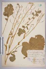 Brassica rapa subsp. campestris herbarium specimen from Mordiford, VC36 Herefordshire in 1886 by Rev. Augustin Ley.