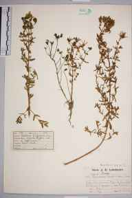 Hypericum perforatum herbarium specimen from Worms Heath, VC17 Surrey in 1922 by Mr Job Edward Lousley.