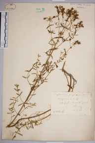 Hypericum perforatum herbarium specimen from Hedge Court, VC17 Surrey in 1883 by Mr William Hadden Beeby.