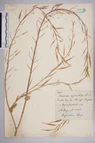 Brassica rapa subsp. campestris herbarium specimen from King's Caple, VC36 Herefordshire in 1885 by Rev. Augustin Ley.
