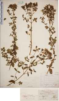 Hypericum maculatum herbarium specimen from Henfield, VC13 West Sussex in 1846 by Joseph Woods.