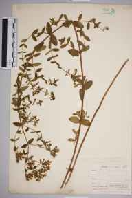Hypericum quadratum herbarium specimen from Falmouth, Swan Pool, VC1 West Cornwall in 1899 by Mr Allan Octavian Hume.