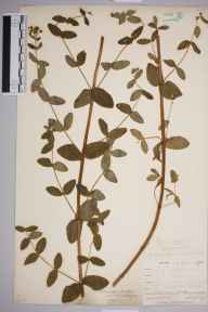 Hypericum tetrapterum herbarium specimen from Ponsanooth, VC1 West Cornwall in 1899 by Mr Allan Octavian Hume.