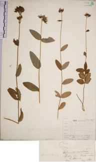 Hypericum montanum herbarium specimen from Castle Howard, VC62 North-east Yorkshire in 1843 by Mr Henry Ibbotson.