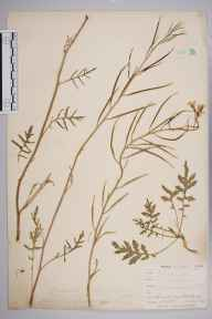 Coincya monensis subsp. cheiranthos herbarium specimen from Par Sands, VC2 East Cornwall in 1899 by Mr Allan Octavian Hume.
