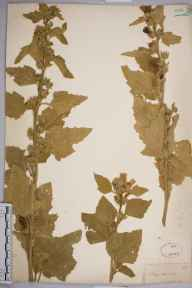 Althaea officinalis herbarium specimen from Sandwich, VC15 East Kent in 1820 by Joseph Woods.