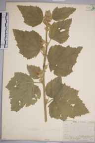 Althaea officinalis herbarium specimen from West Wickham, VC16,VC17 in 1910 by William Henry Griffin.