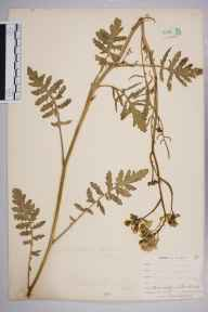 Coincya monensis subsp. cheiranthos herbarium specimen from Par Sands, VC2 East Cornwall in 1900 by Mr Allan Octavian Hume.