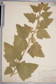 Althaea officinalis herbarium specimen from Seaford, VC14 East Sussex in 1907 by Mr Allan Octavian Hume.