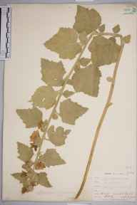 Althaea officinalis herbarium specimen from Lydd, VC15 East Kent in 1903 by William Henry Griffin.