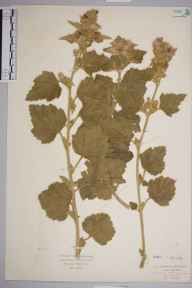 Althaea officinalis herbarium specimen from Alfriston, VC14 East Sussex in 1935 by Mr Isaac A Helsby.