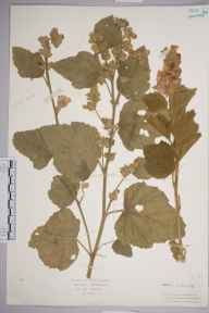 Althaea officinalis herbarium specimen from Seaford, VC14 East Sussex in 1905.