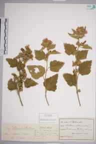 Althaea officinalis herbarium specimen from Cuckmere, VC14 East Sussex in 1893 by M D.