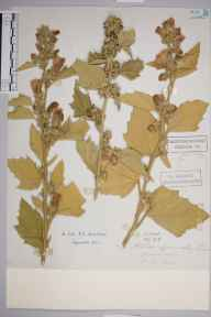 Althaea officinalis herbarium specimen from Tenterden, VC15 East Kent in 1897.