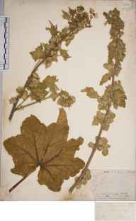Lavatera arborea herbarium specimen from Scilly Isles, VC1 West Cornwall in 1862 by Mr Frederick Townsend.