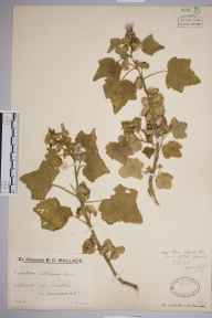 Lavatera arborea herbarium specimen from Uphill, VC6 North Somerset in 1923 by Mr Job Edward Lousley.