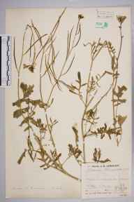 Coincya monensis subsp. cheiranthos herbarium specimen from Fawley, VC11 South Hampshire in 1936 by Mr Job Edward Lousley.