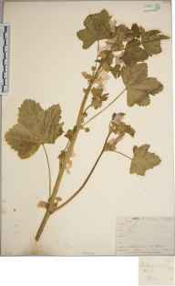 Malva sylvestris herbarium specimen from Hugh Town, VC1 West Cornwall in 1862.
