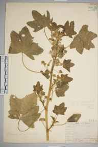 Malva sylvestris herbarium specimen from VC17 Surrey in 1912 by William Henry Griffin.