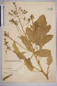 Brassica nigra herbarium specimen from VC10 Isle of Wight in 1928 by Miss J G Wood.