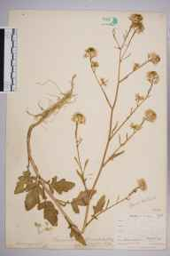 Brassica nigra herbarium specimen from Looe, VC2 East Cornwall in 1900 by Mr Allan Octavian Hume.