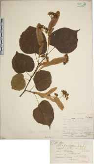 Tilia platyphyllos x cordata = T. x europaea herbarium specimen from Leigh Woods, VC6 North Somerset in 1882 by Dr Thomas Bruges Flower.