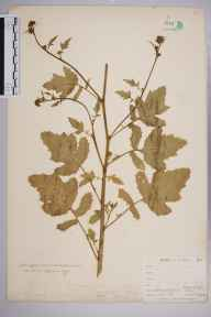 Brassica nigra herbarium specimen from East Looe, VC2 East Cornwall in 1900 by Mr Allan Octavian Hume.